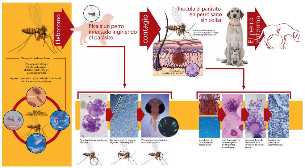 Ciclo de vida del flebótomo