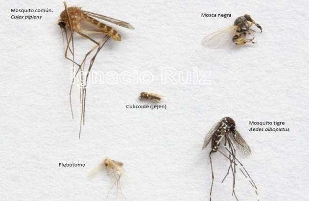 Comparativa de diferentes dípteros encontrados en nuestro medio
